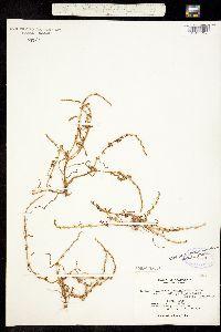 Image of Plagiobothrys leptocladus