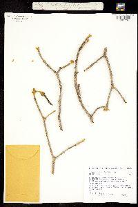 Tabebuia chrysantha image