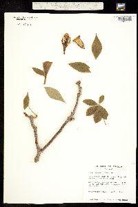 Ceiba acuminata image