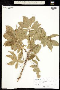 Ceiba aesculifolia subsp. aesculifolia image
