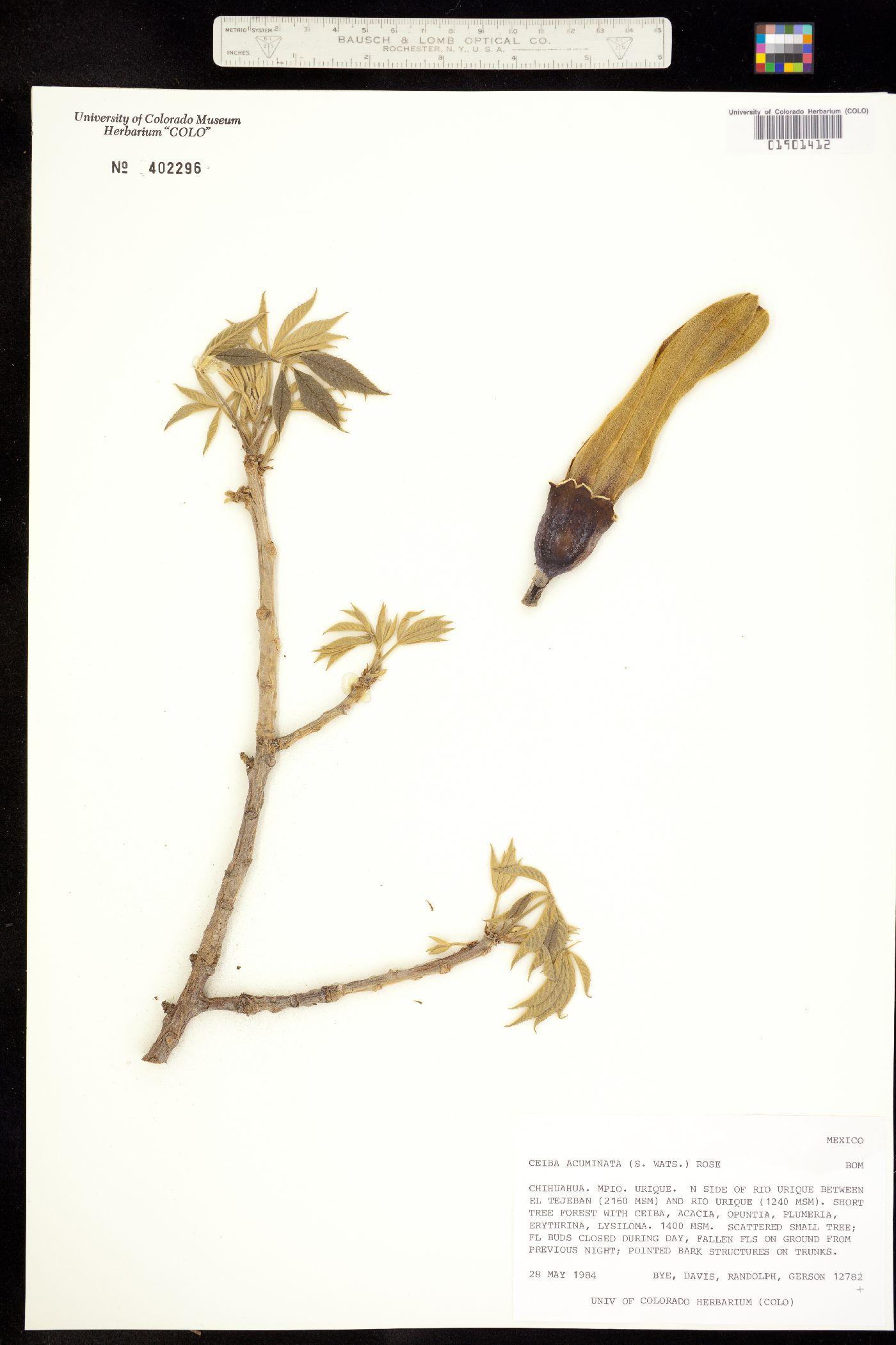 Ceiba aesculifolia image