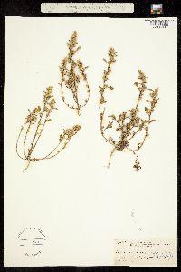 Amaranthus viscidulus image