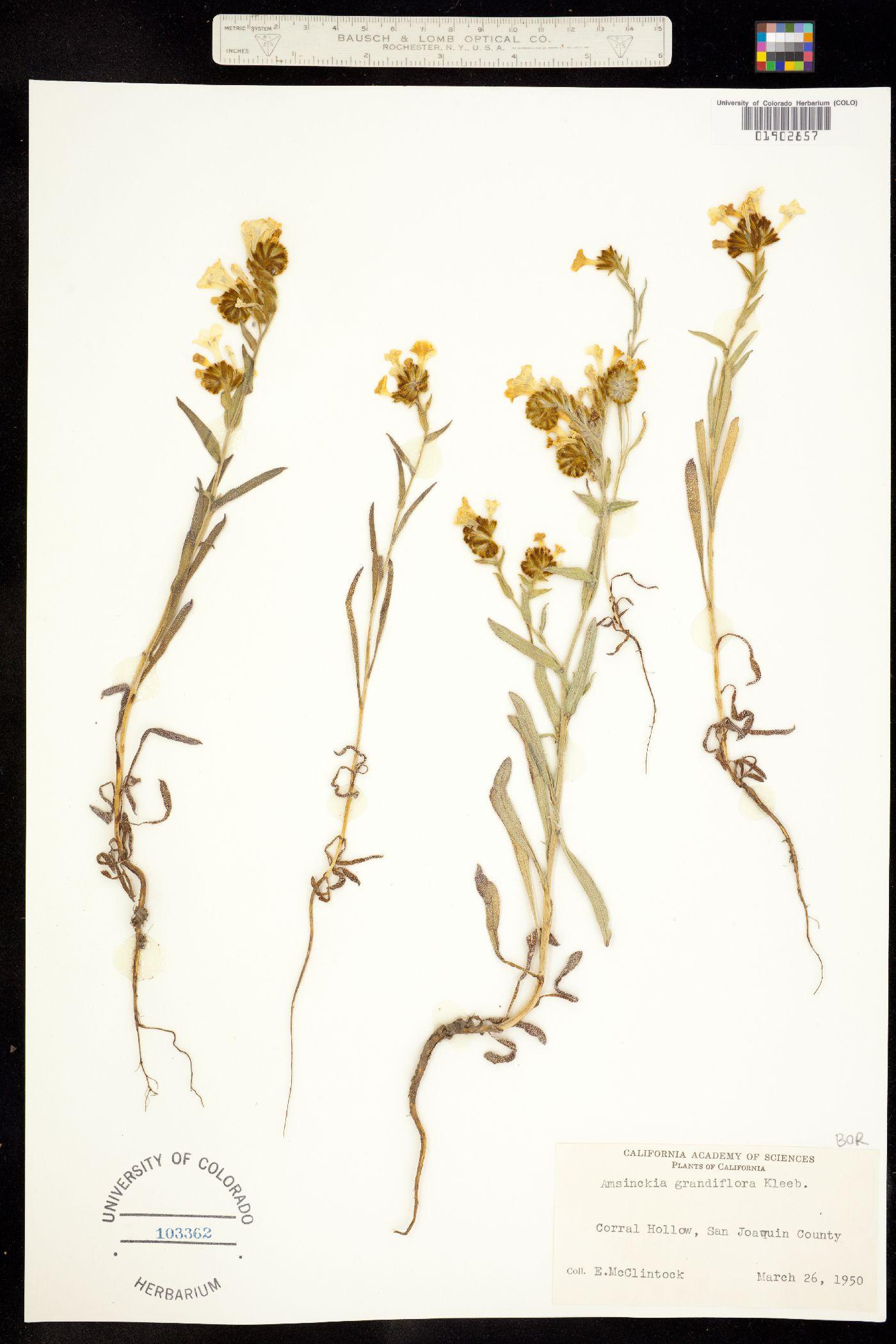 Amsinckia grandiflora image