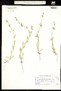 Asperugo procumbens image