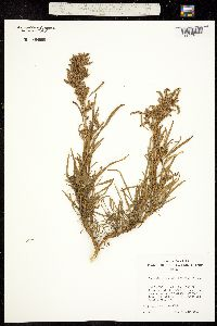 Image of Amaranthus brownii
