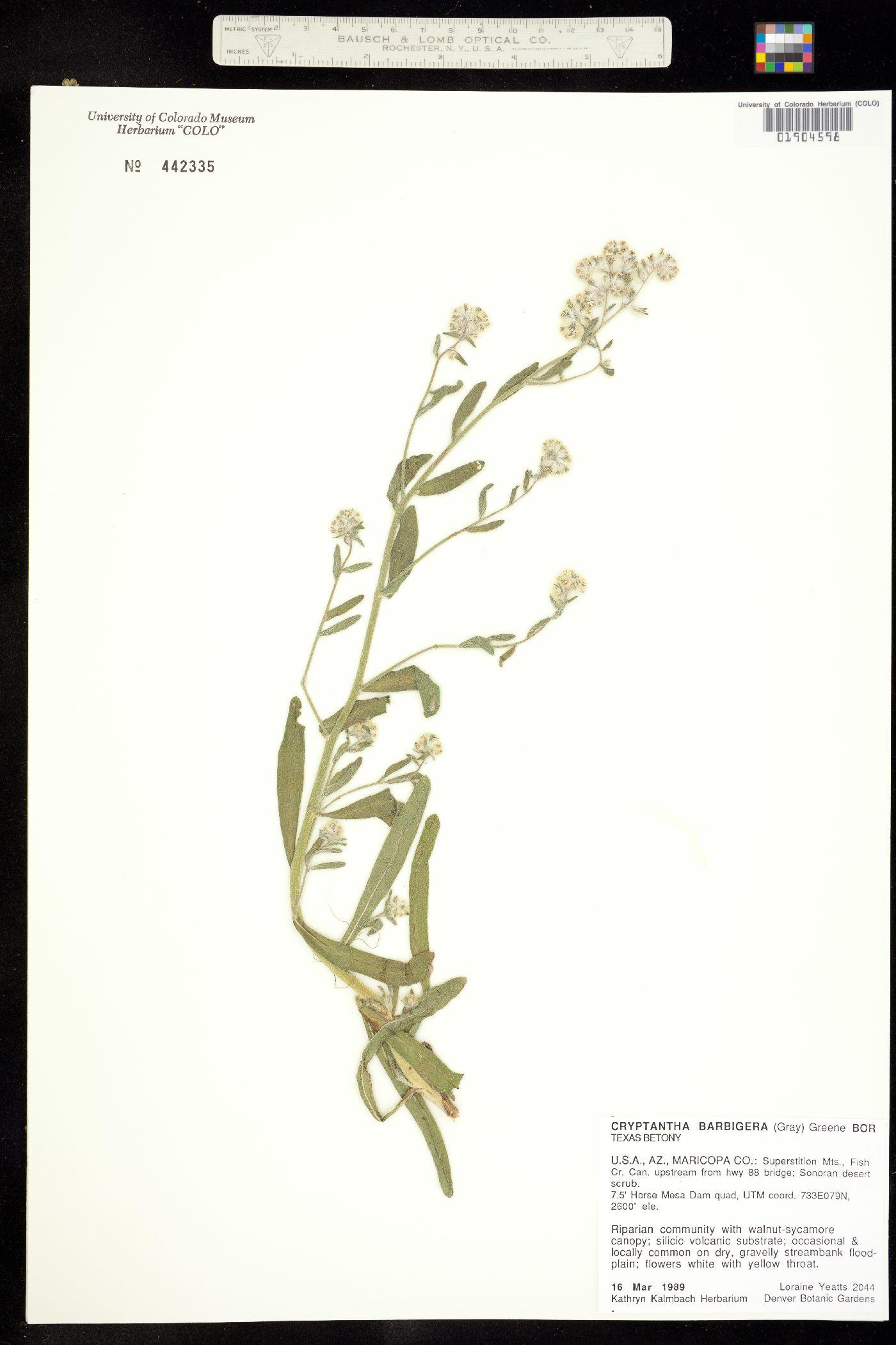 Cryptantha barbigera image