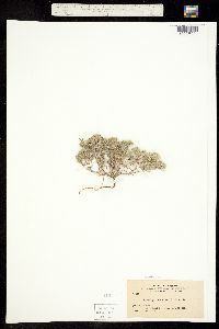Cryptantha circumscissa image