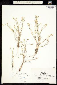 Cryptantha hispidissima image