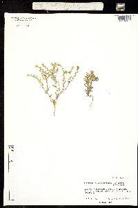 Cryptantha mexicana image