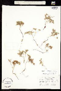 Cryptantha micrantha image