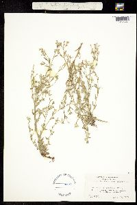 Cryptantha micromeres image