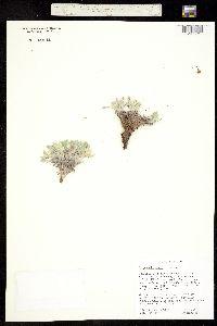 Cryptantha abata image