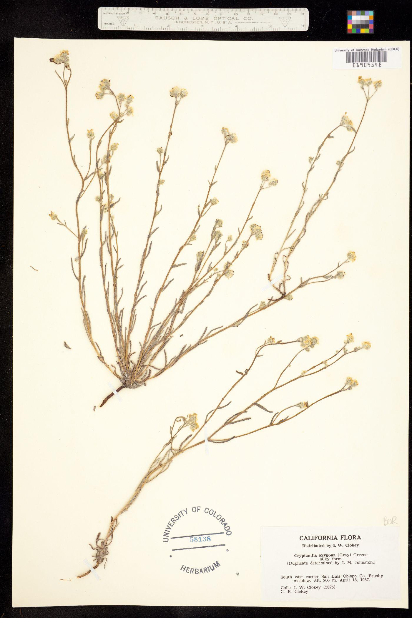 Cryptantha oxygona image