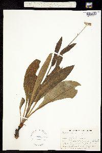 Image of Cynoglossum virginianum