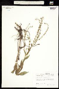 Image of Cynoglossum zeylanicum