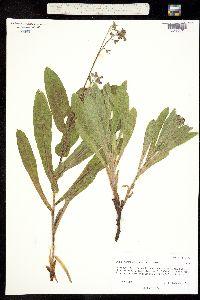 Cynoglossum occidentale image