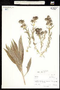 Echium candicans image