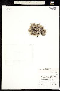 Eritrichium aretioides image