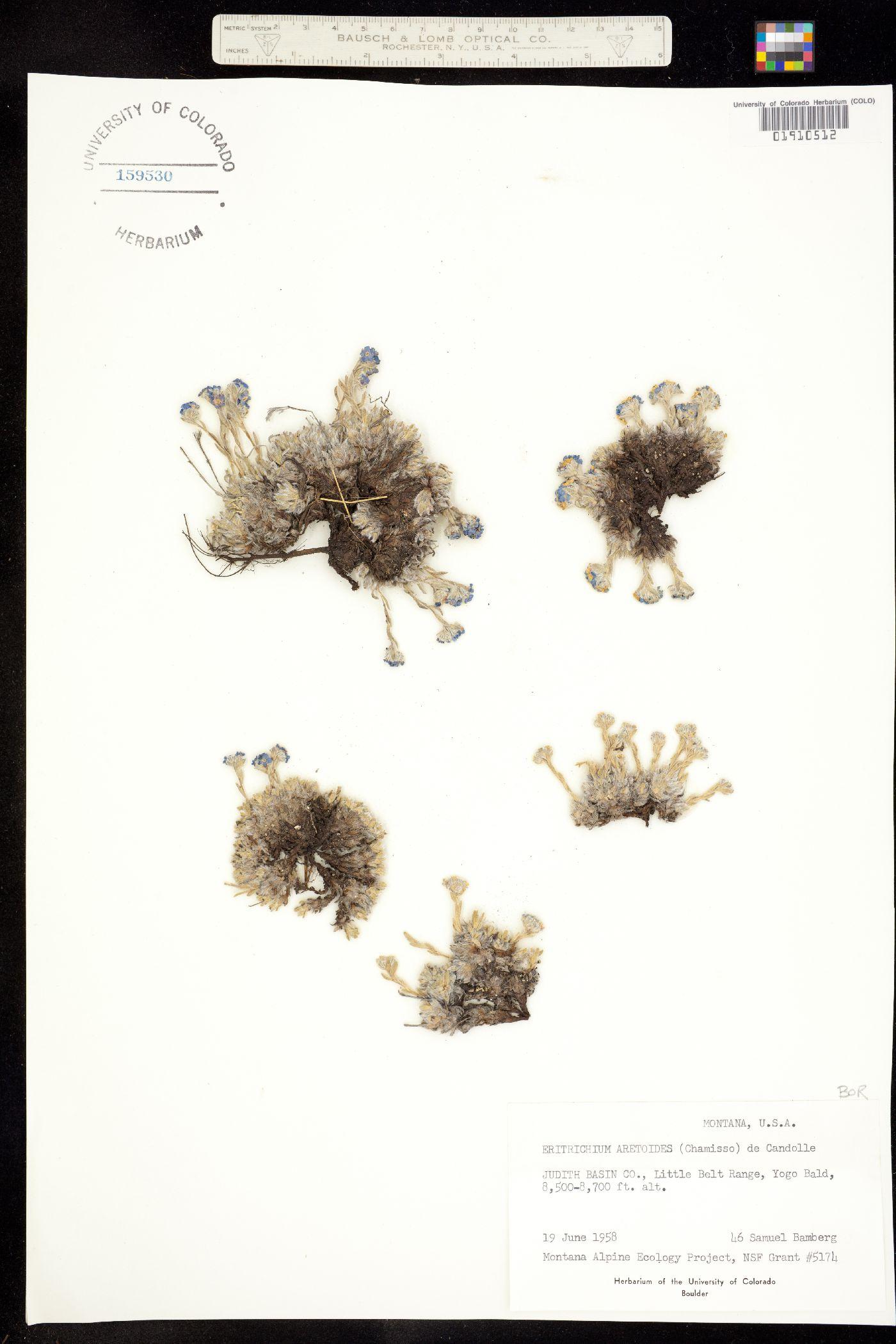 Eritrichium image