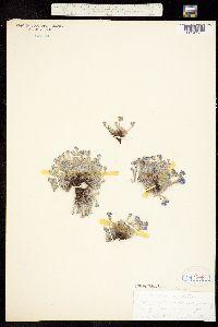 Image of Eritrichium aretioides