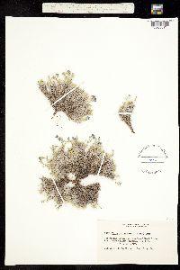 Image of Eritrichium howardii