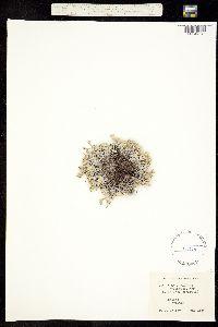 Eritrichium howardii image