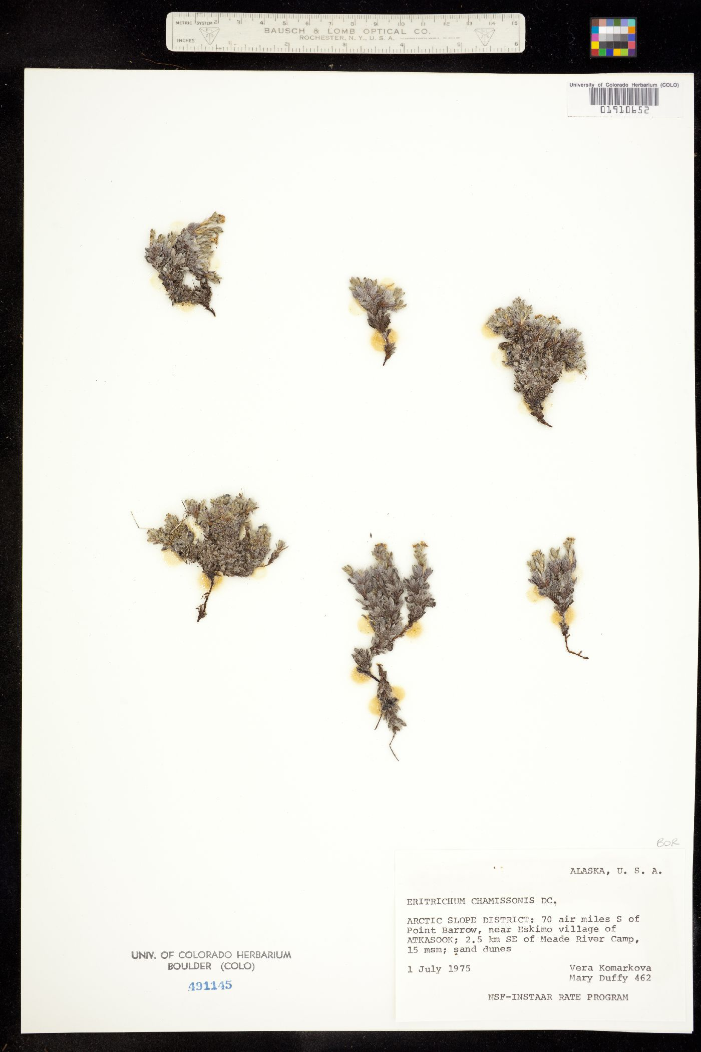 Eritrichium chamissonis image