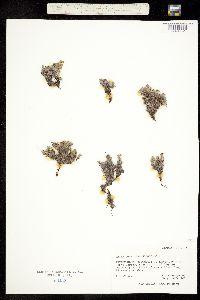 Image of Eritrichium chamissonis