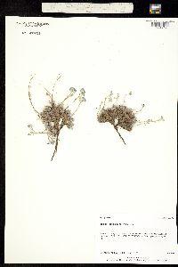 Eritrichium splendens image