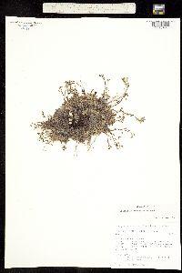 Image of Eritrichium splendens