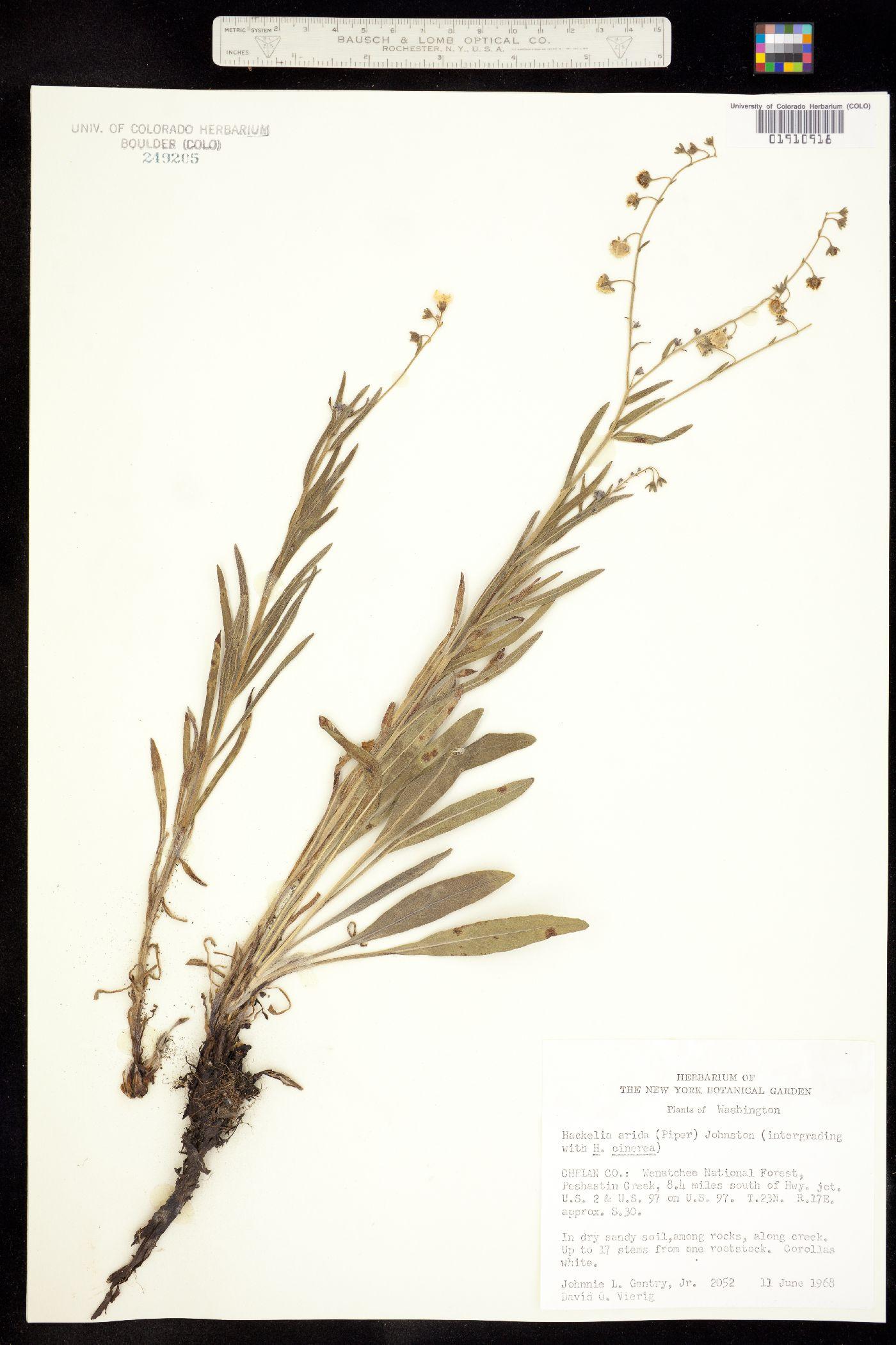 Hackelia arida image