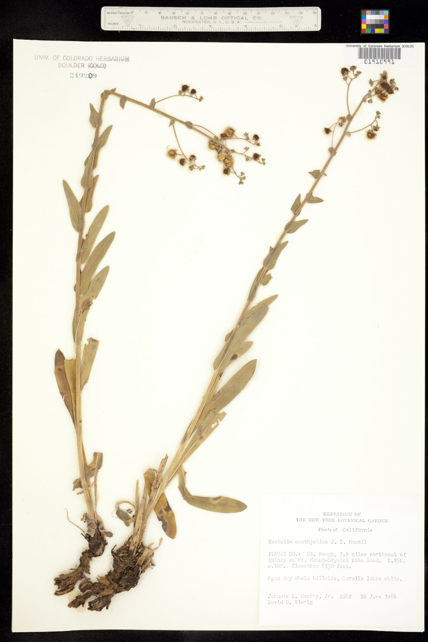 Hackelia amethystina image