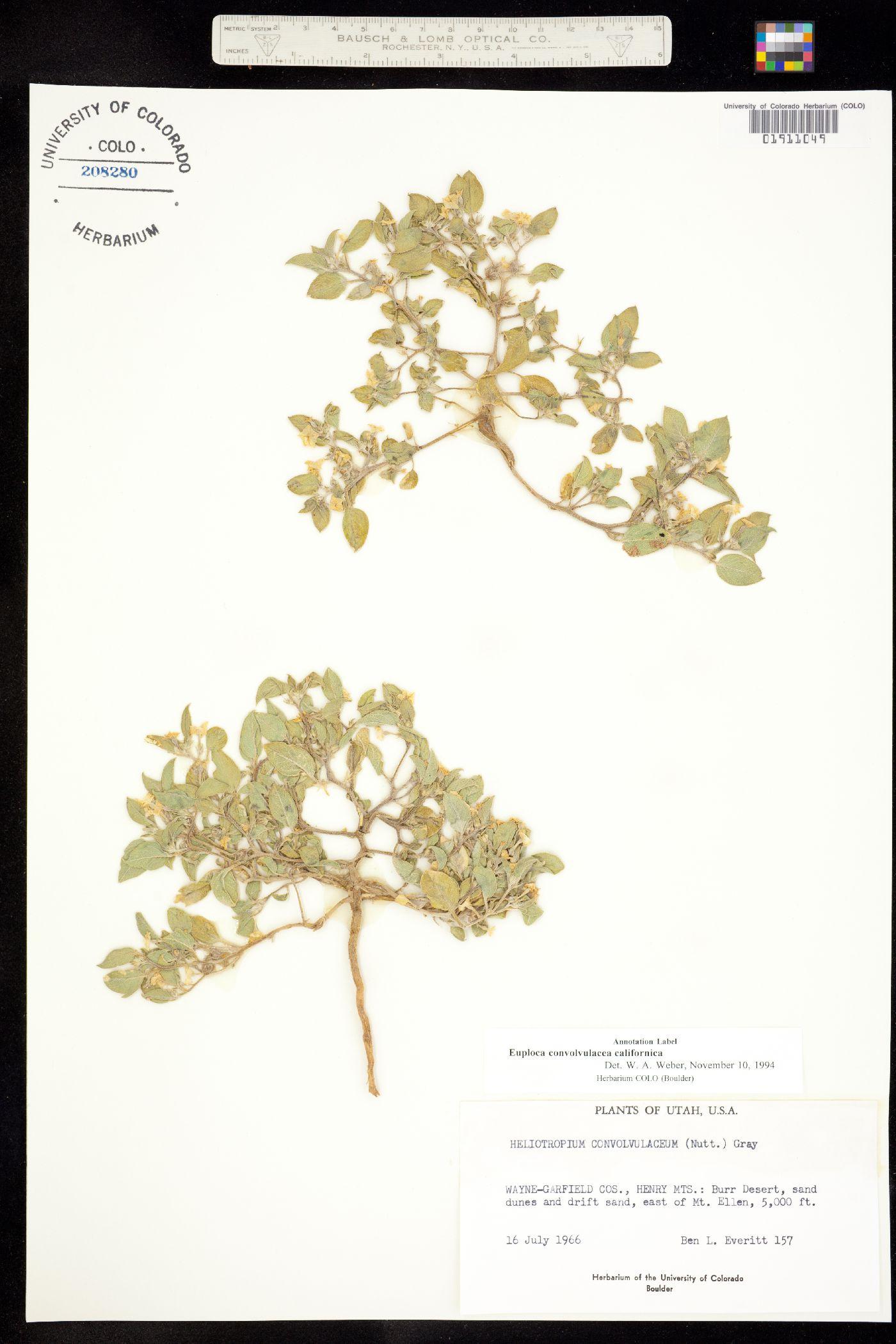Euploca convolvulacea ssp. californica image