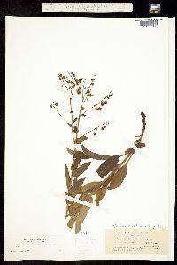 Hackelia californica image