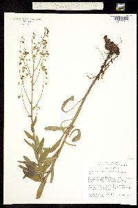 Image of Hackelia californica