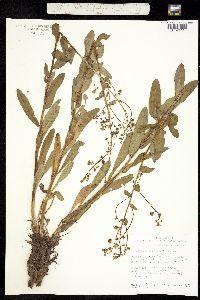 Hackelia nervosa image