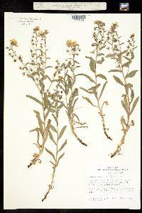 Image of Hackelia venusta