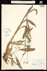 Hackelia ciliata image