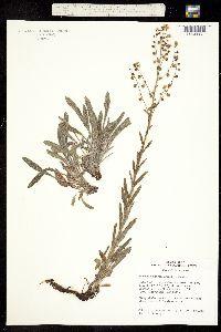 Hackelia setosa image