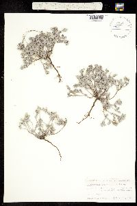 Heliotropium confertifolium image