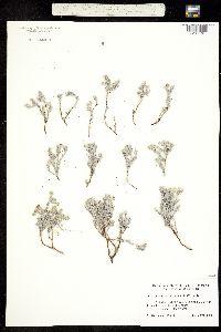 Image of Heliotropium confertifolium