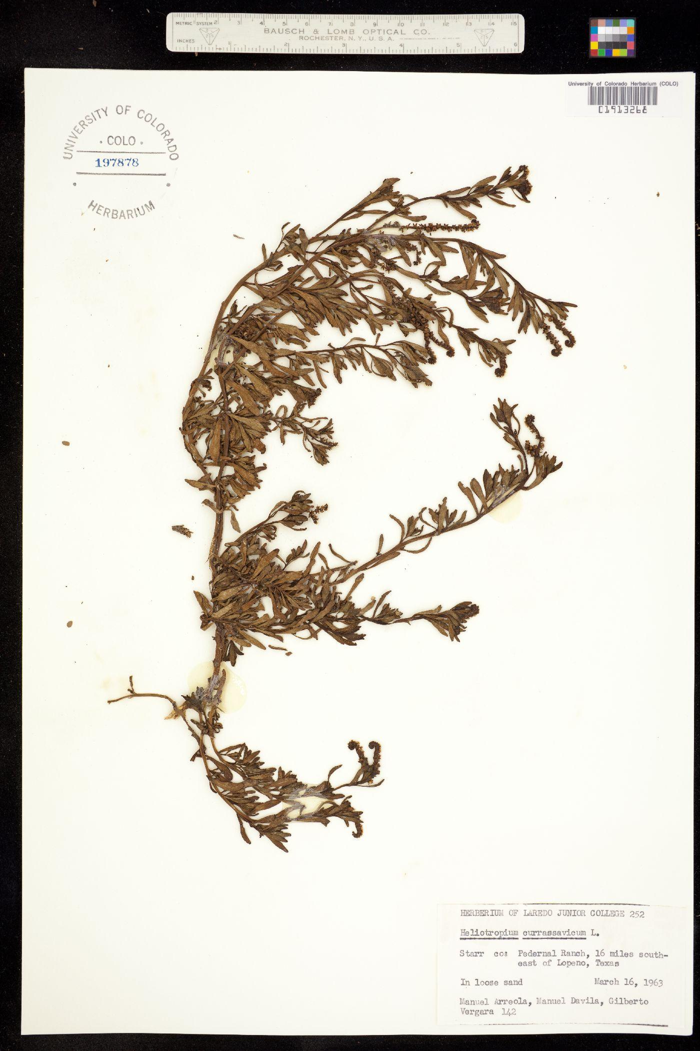 Heliotropium image