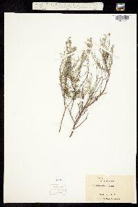 Image of Heliotropium greggii
