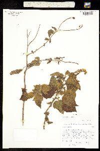 Image of Heliotropium indicum
