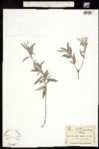 Heliotropium calcicola image