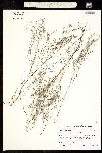 Image of Heliotropium tenellum