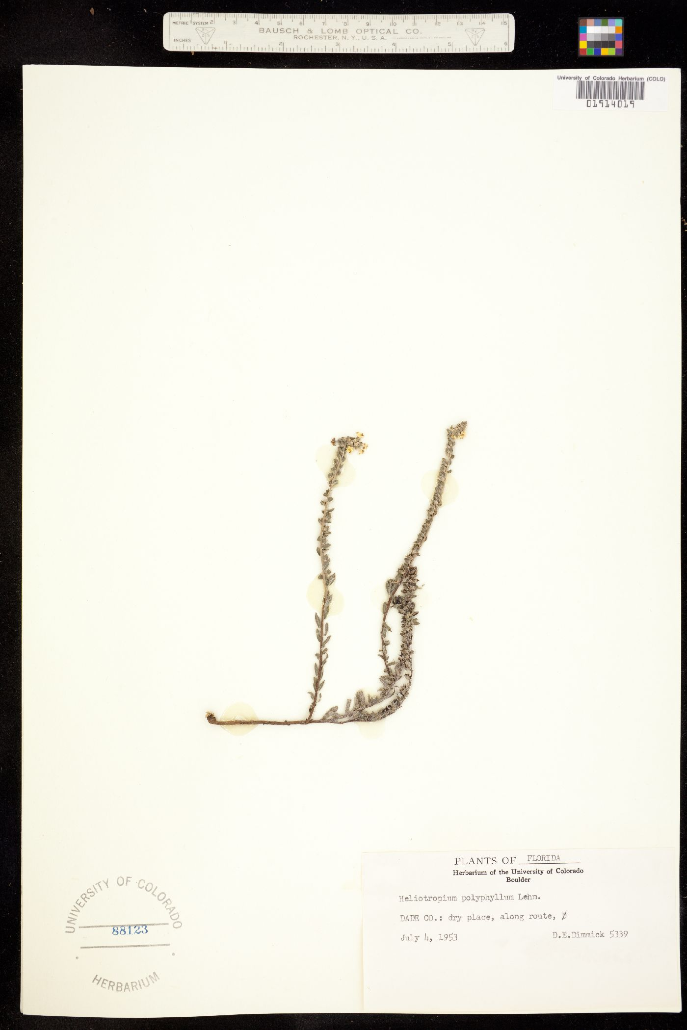 Euploca fruticosa image