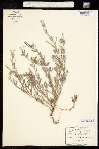Image of Euploca procumbens