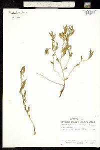Heliotropium glabriusculum image