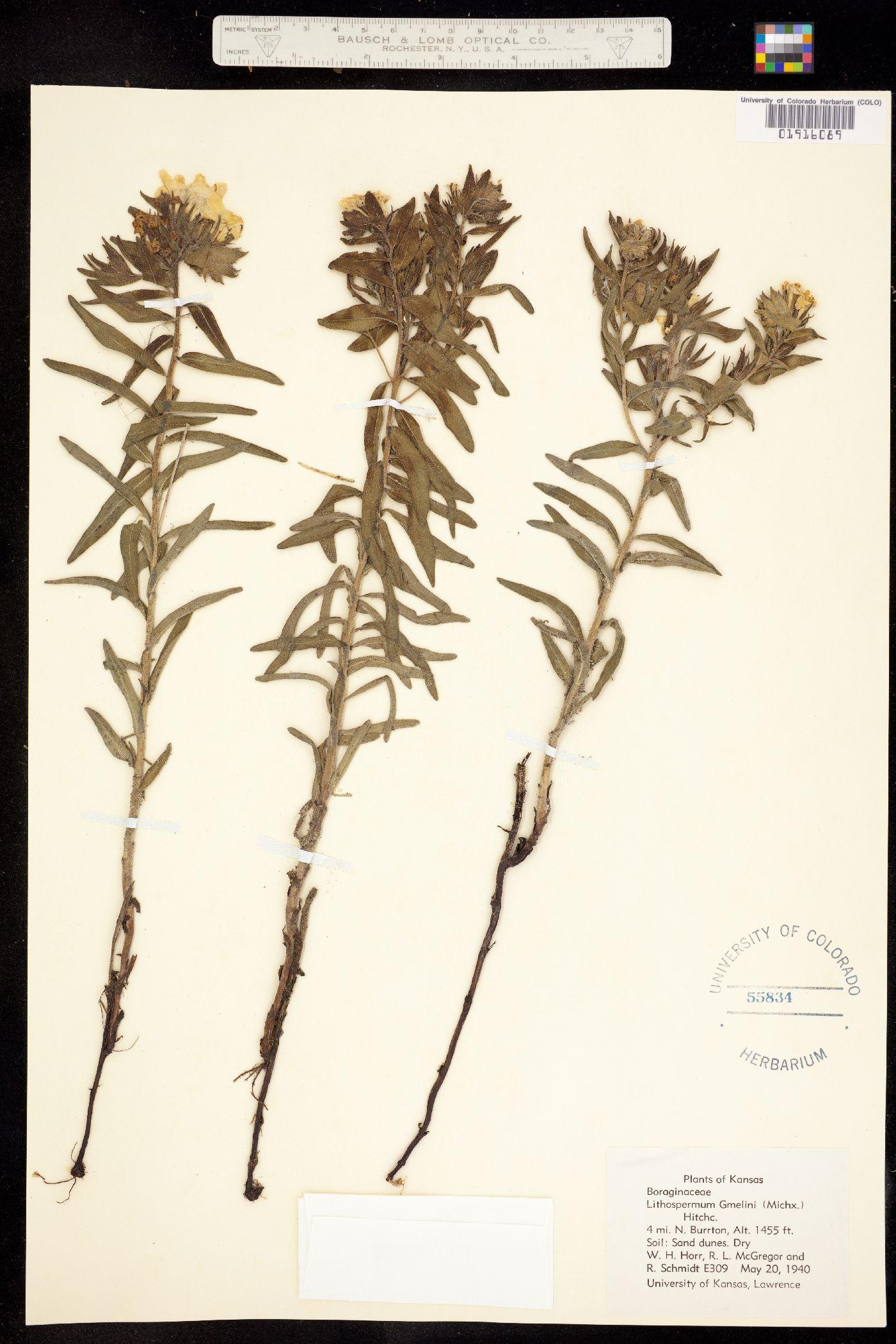 Lithospermum gmelini image